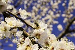 Ramos de árvore de florescência Fotografia de Stock