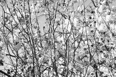 Ramos de árvore de florescência Foto de Stock