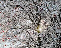 Ramos de árvore desencapados com as bagas vermelhas carregados com neve como Sun brilha completamente foto de stock royalty free