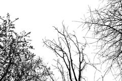 Ramos de árvore desencapados em um céu branco Foto de Stock