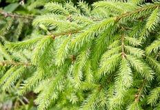 Ramos de árvore do abeto Imagens de Stock