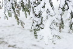 Ramos de árvore do abeto sob a neve Imagens de Stock Royalty Free