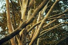 Ramos de árvore do bordo Fotos de Stock