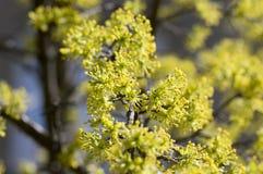 Ramos de árvore do mas do Cornus durante a primavera adiantada, florescência da cereja de cornalina fotografia de stock royalty free
