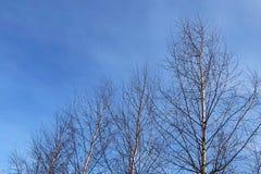 Ramos de árvore do vidoeiro acima do céu azul fotos de stock