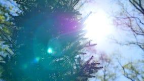 Ramos de árvore e agulhas spruce verdes brilhantemente iluminados na perspectiva do céu azul macio filme