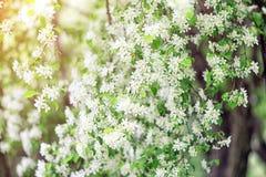 Ramos de árvore de florescência da maçã nos raios do sol da mola imagens de stock royalty free