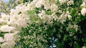 Ramos de árvore de florescência da maçã que movem sobre o vento vídeos de arquivo