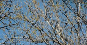 Ramos de árvore de florescência na mola contra o céu vídeos de arquivo