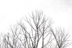 Ramos de árvore no fundo do isolado Fotografia de Stock Royalty Free