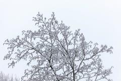 Ramos de árvore no inverno Imagens de Stock