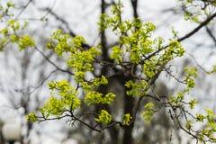 Ramos de árvore novos close-up, conceito da mola adiantada, estações, tempo Projeto moderno do papel de parede ou da bandeira, se Fotos de Stock Royalty Free