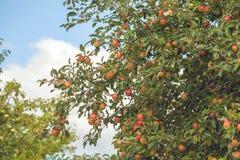 Ramos de árvore de Pple com um grande número maçãs contra o céu azul e as nuvens fotografia de stock