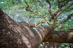 Ramos de árvore que olham acima com folhas do verde e o céu azul imagem de stock