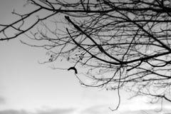 Ramos de árvore, silhueta preto e branco Fotos de Stock Royalty Free