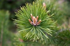 Ramos de árvore Spruce verdes Foto de Stock Royalty Free
