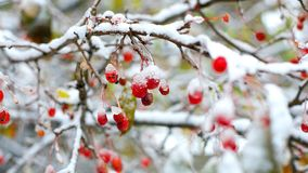 Ramos de árvore vermelhos de Rowan cobertos com a primeira neve no inverno filme