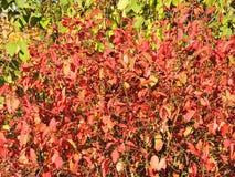 Ramos de árvores coloridos no outono, Lituânia Fotos de Stock Royalty Free