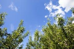 Ramos de árvores de amêndoa, Imagens de Stock