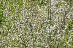 Ramos de árvores de maçã com as flores brancas de florescência grossas foto de stock royalty free