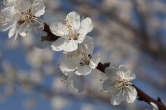 Ramos de abricós de florescência Fotografia de Stock