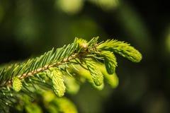 Ramos de agulhas do pinheiro com brandamente verde imagem de stock royalty free
