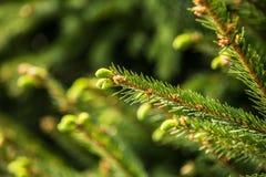 Ramos de agulhas do pinheiro com brandamente verde fotos de stock royalty free