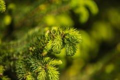 Ramos de agulhas do pinheiro com brandamente verde foto de stock royalty free