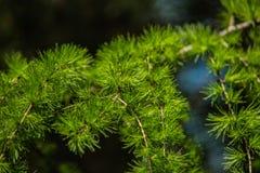 Ramos de agulhas do pinheiro com brandamente verde imagem de stock