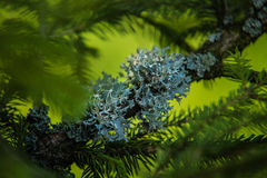 Ramos de agulhas do pinheiro com brandamente verde imagens de stock royalty free