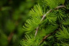 Ramos de agulhas do pinheiro com brandamente verde fotografia de stock