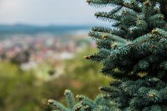 Ramos de agulhas do pinheiro com brandamente verde imagens de stock
