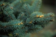 Ramos de agulhas do pinheiro com brandamente verde foto de stock