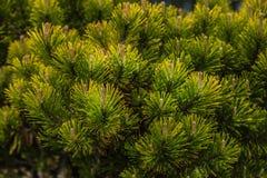 Ramos de agulhas do pinheiro com brandamente verde fotos de stock
