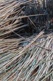 Ramos de bambu caídos após queimado Fotos de Stock Royalty Free