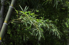 Ramos de bambu na luz do sol Imagens de Stock