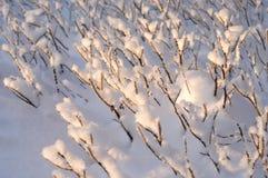 Ramos de Bush cobertos com a neve imagens de stock