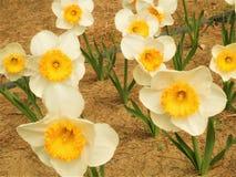 Ramos de campo de flor de los narcisos en el jard?n imagen de archivo