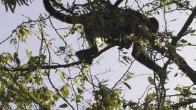 Ramos de escalada selvagens raros do macaco de furo vídeos de arquivo