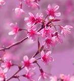 Ramos de flores Himalaias selvagens cor-de-rosa da cereja Imagens de Stock