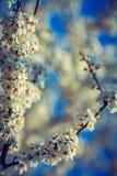 Ramos de florescência da árvore de cereja florais Imagem de Stock Royalty Free
