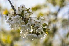 Ramos de florescência da cereja Fotos de Stock