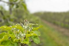 Ramos de florescência da maçã Foto de Stock Royalty Free