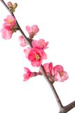 Ramos de florescência da mola isolados no branco fotografia de stock royalty free