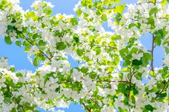 Ramos de florescência das árvores de Apple iluminadas pelo sol contra o céu azul foto de stock royalty free