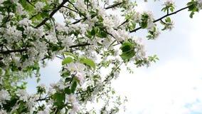 Ramos de florescência de árvores de maçã contra o céu filme