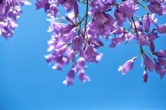 Ramos de florescência do jakaranda contra o céu Fotos de Stock Royalty Free