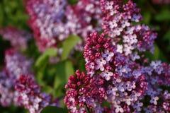Lilacs Foto de Stock