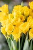 Ramos de narcisos amarillos Flores de la primavera del jardinero holandés Concepto de un florista en una floristería wallpaper fotos de archivo libres de regalías