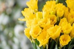 Ramos de narcisos amarillos Flores de la primavera del jardinero holandés Concepto de un florista en una floristería wallpaper imágenes de archivo libres de regalías